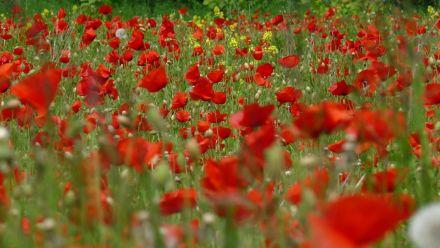Poppies zaad (Poppy, Slaapbol, Papaver, Klaproosjes zaaien)