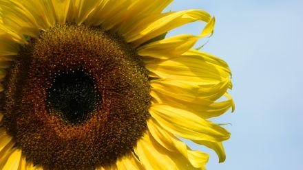 Zonnebloemzaden (zaad Helianthus annuus, Sunny Sunflowers)