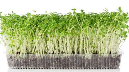 Knip en eet groentezaden (zaad kiemgroente en spruitgroente)