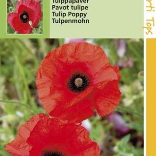 Papaver glaucum (zaad Poppies, Rode klaproos, tulppapaver)