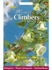 Cobaea scandens Alba (zaad witte Klokwinde, Flowering Climbers)
