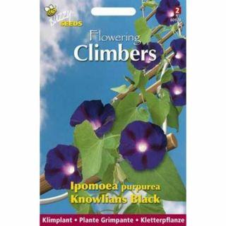 Ipomoea Purpurea Knowlians Black (zaad donker paarsblauwe klimmende winde, Flowering Climbers)