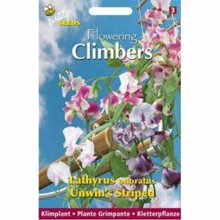 Lathyrus Unwin's Striped (zaad aangenaam geurende siererwt, Flowering Climbers)