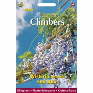 Wisteria Sinensis Soft Blue (zaad Blauwe regen, Flowering Climbers)