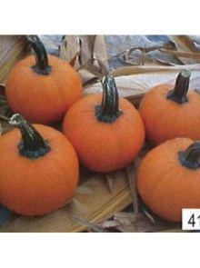 Kleine oranje pompoen Wee-be-little (zaad)