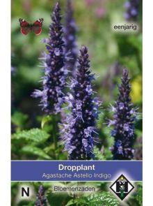 Agastache hybrida Astello Indigo (Dropplant zaad)