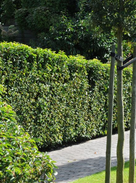 Prunus lusitanica (Portugese laurier meeneemhaag)