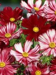 Cosmea Velouette (zaad Cosmos, Bloemen in diep wijnrood met witte strepen)