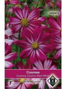 Cosmos bipinnatus Cosimo Red-White (zaad Cosmos, roodpaars met wit)