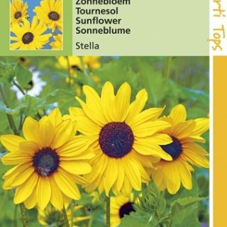Helianthus debilis Stella (zaad Gele snij-zonnebloem)