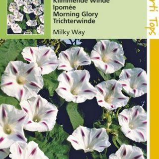 Ipomoea tricolor Milky Way (zaad Klimmende winde, wit met rode strepen)