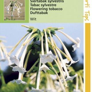 Nicotiana alata sylvestris (zaad witte siertabak)