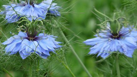 Bloemzaden eenjarig (zaad perkgoed, zomerbloemen, éénjarige planten)