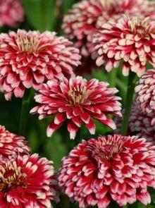Zinnia Mazurka (zaad Zinnia met tweekleurige bloemen rood met wit)