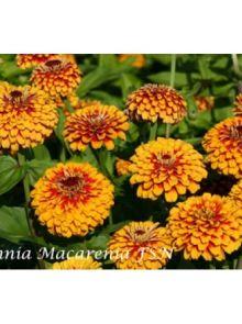 Zinnia Macarena (zaad Zinnia roodoranje bloemen)