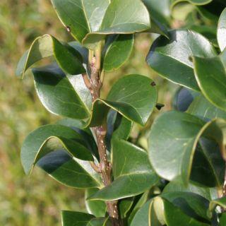 Ligustrum japonicum (Meeneemhaag Liguster - 80cm)