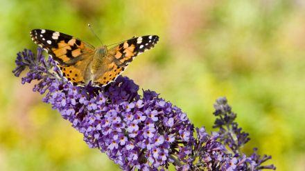 Tuinplanten die vlinders aantrekken (Vlinderplanten, Vlindertuin)