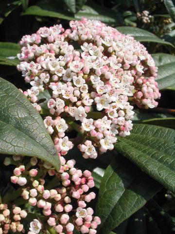 Viburnum davidii - Sneeuwbal