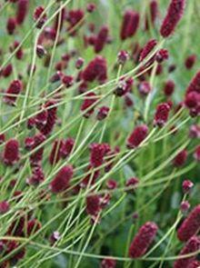Sanguisorba officinalis 'Red Thunder' (Pimpernel)