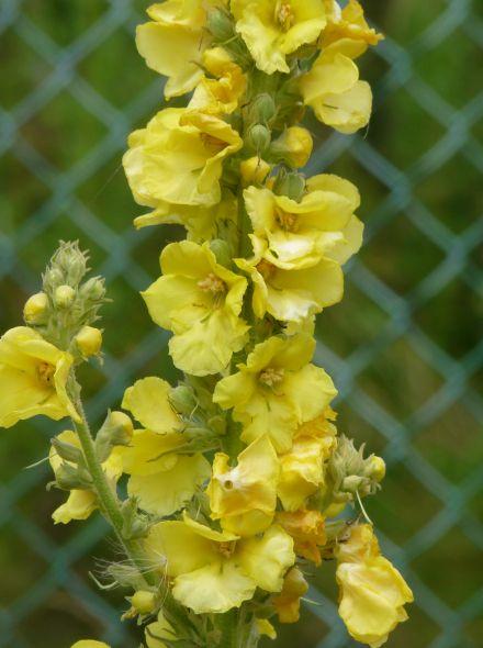 Verbascum densiflorum (Toorts, Stalkaars)