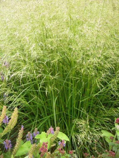 Deschampsia cespitosa (Ruwe smele, Rasen-Schmiele, Tufted hairgrass, Tussock grass)