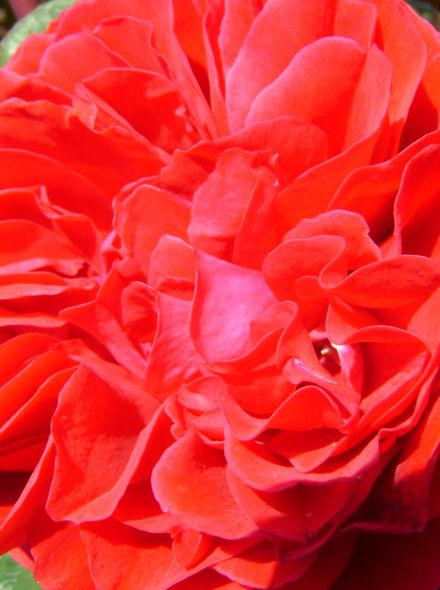 Rosa Darcey Bussell (donkerrode Engelse roos)