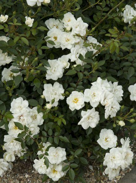 Rosa 'Crystal Fairy' (bodembedekkende wit bloeiende roos)