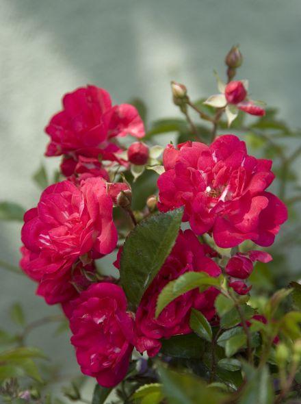 Rosa 'Fairy Queen' (scharlakenrode bodembedekkende roos)