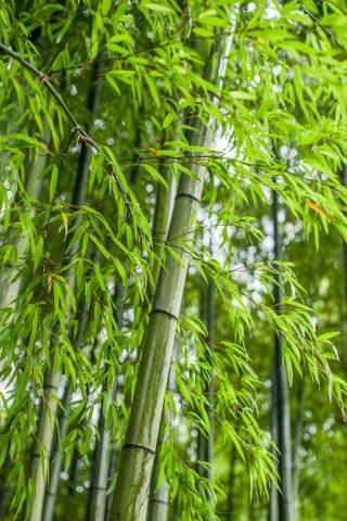 Beter af met bamboe