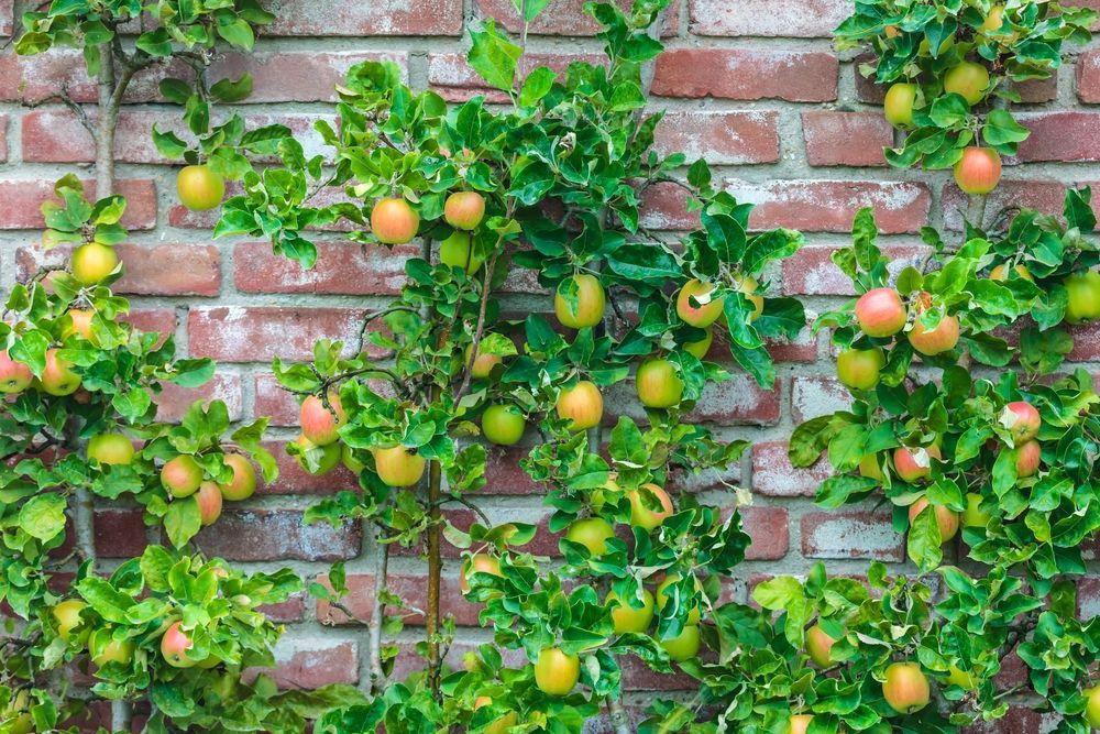 Malus domestica 'Goldcats' (zuilappel, zuilfruit)