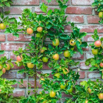 Appels en peren groeien aan de muur!
