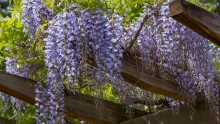 De populairste klimplanten voor je pergola!