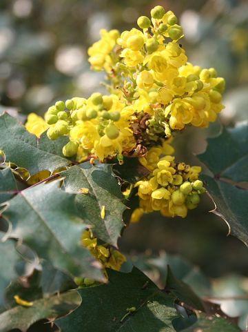 Mahonia aquifolium - Mahoniestruik