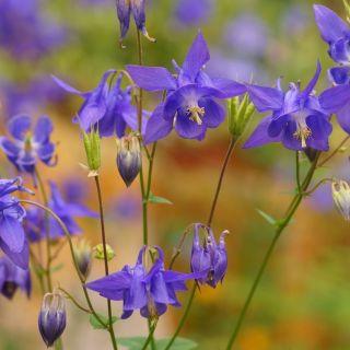 Aquilegia vulgaris (Akelei, Gemeine Akelei, Granny's nightcap, European columbine)