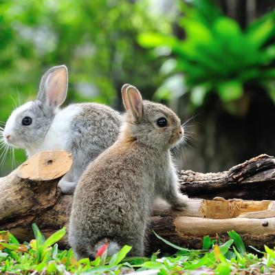 De voorliefde van het konijn