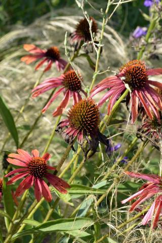 Kleurrijk prairie-mengsel in uw tuin?