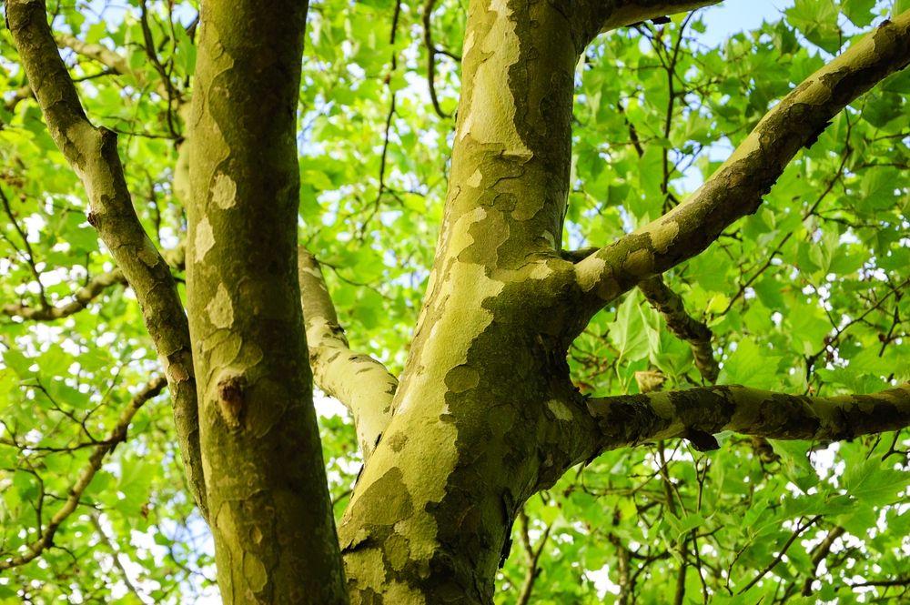 Parasolboom In Tuin : Wat is de plantafstand van dakplatanen de tuinen van appeltern
