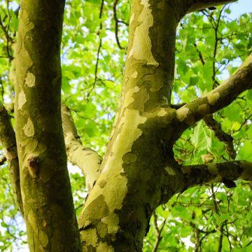 Wat is de plantafstand van dak- en leiplatanen?