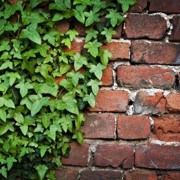 Is klimop (Hedera helix) slecht voor je muur?
