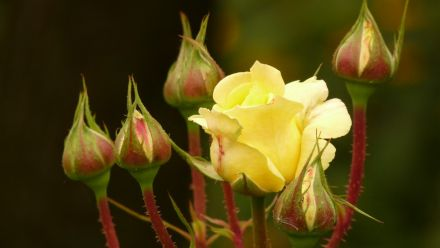 Tuinrozen, Gartenrosen, Garden Roses (per / by post)