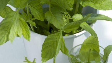 Tuinkruiden, Keuken kruid, Küchenkräuter, Herbs (per / by post)