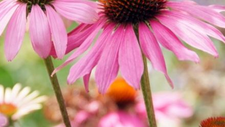 Vaste planten, Feste Pflanzen, Perennial plants (per / by post)