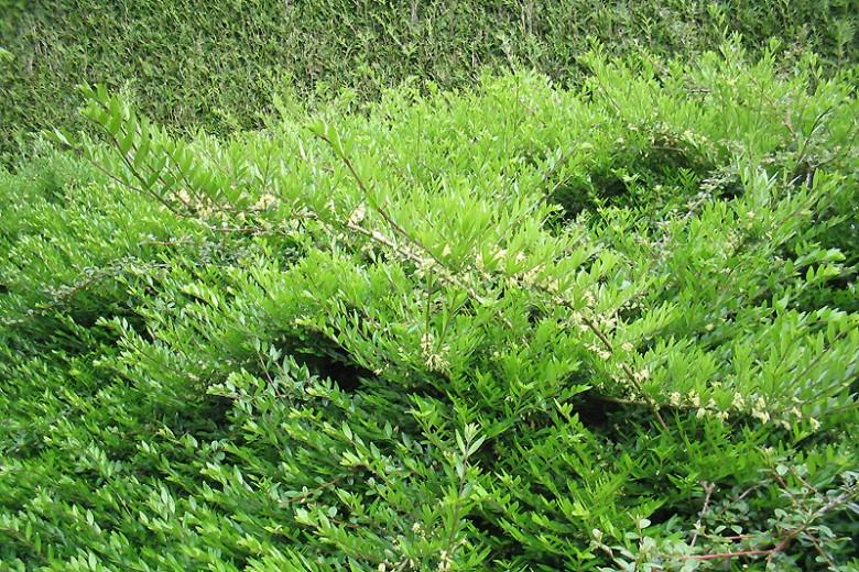 Lonicera nitida 'Elegant' (Chinese kamperfoelie of struikkamperfolie)