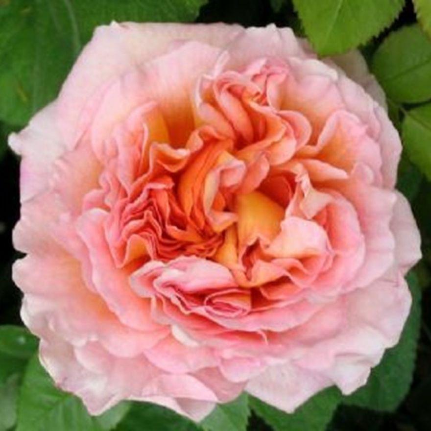 Rosa Abraham Darby (pastelroze, abrikoosgele Engelse roos, Englische Rose, English Rose)
