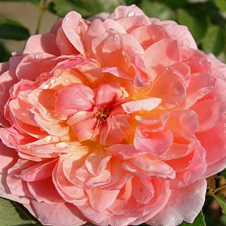 Rosa Anne Boleyn (warmroze Engelse roos, Englische Rose, English Rose)