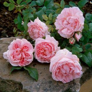 Rosa Cottage Rose (warmroze Engelse roos, Englische Rose, English Rose)