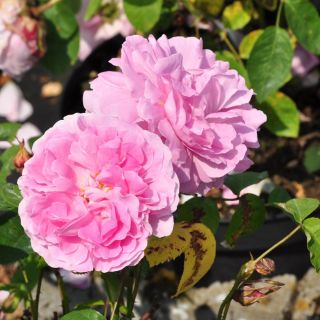 Rosa Mary Rose (roze Engelse roos, Englische Rose, English Rose)