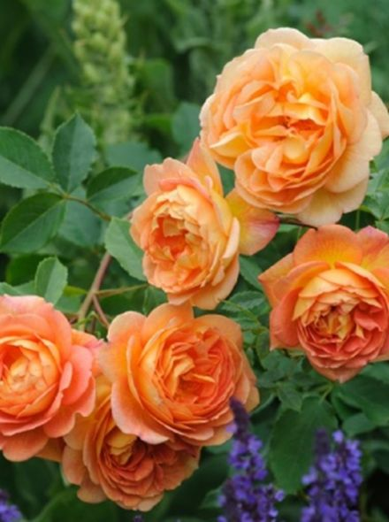 Rosa Lady of Shalott (geeloranje Engelse roos, Englische Rose, English Rose)