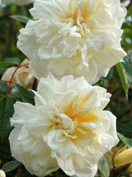 Rosa Alberic Barbier (crémewitte rambler roos, Ramblerrose, Rambling Roses)