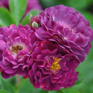 Rosa Bleu Magenta (paarse ramblerroos, Ramblerrose, Rambling Roses)